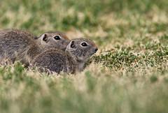 Wyoming Ground-Squirrel
