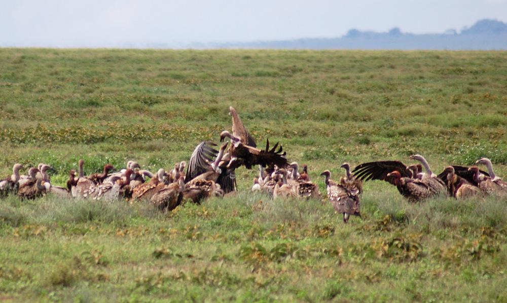 vultures-feeding