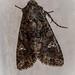 Cabbage Moth - Mamestra brassicae