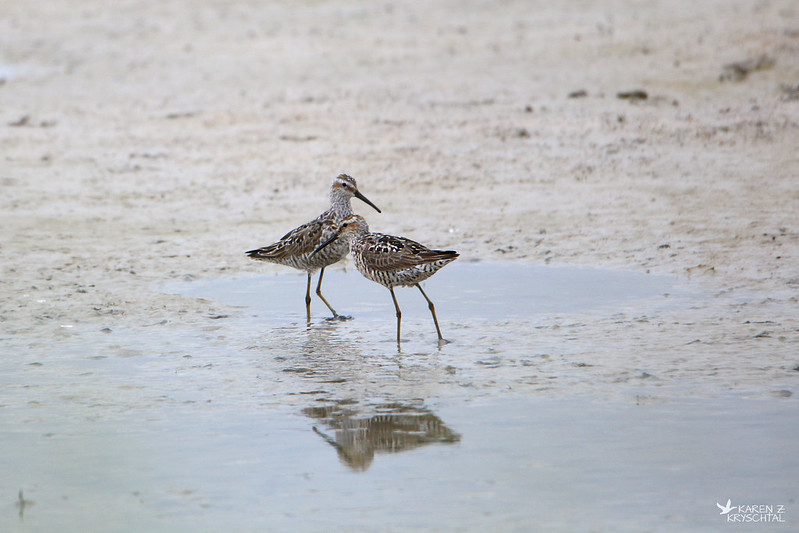 IMG_6621StiltSandpipers