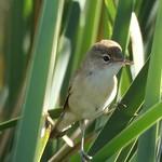 Aves en las lagunas de La Guardia (Toledo) fotografiadas por Jose Manuel Marín. 29-7-2018