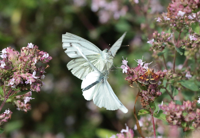 Two white butterflies fighting with bonus mint moth