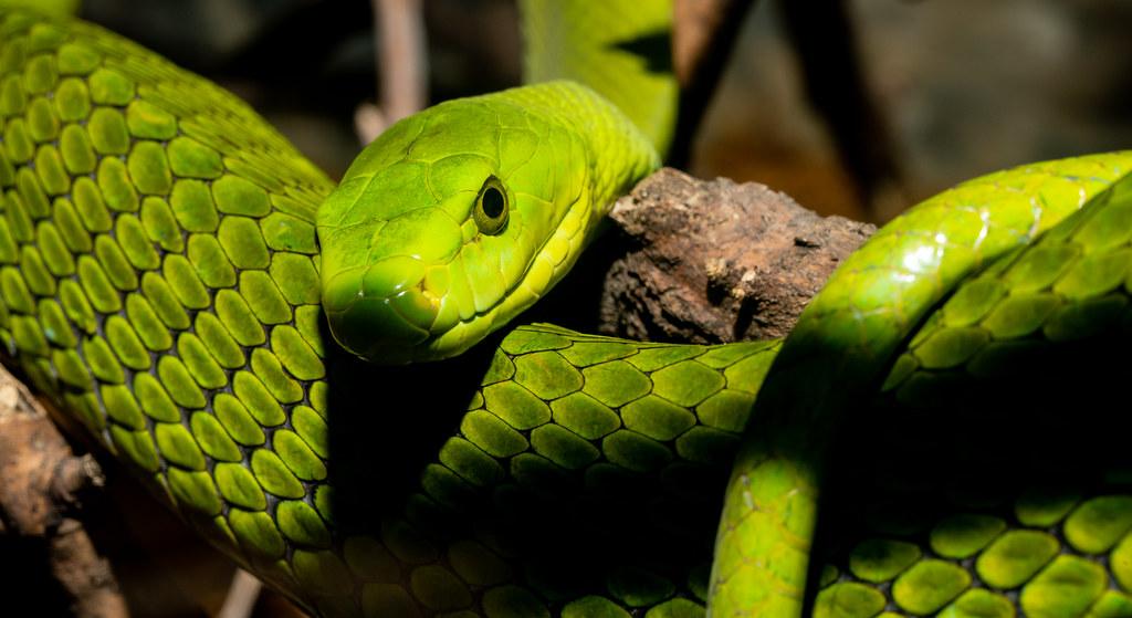 Green Mamba_6
