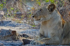 young Lioness resting on a large rock