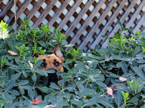 Dog Hiding in a Bush