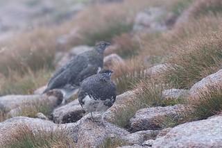 Rock Ptarmigan (Lagopus muta), Coire an t-Sneachda, Scotland