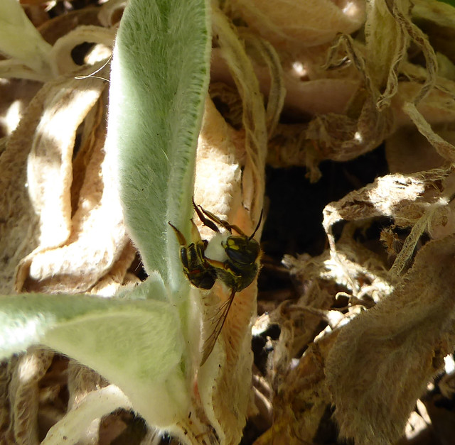 Wool carder bee gathering fibres together