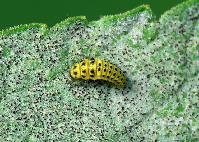22-spot Ladybird - Psyllobora vigintiduopunctata