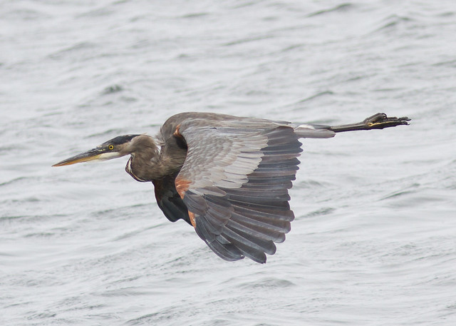 Great Blue Heron Ardea, Canon EOS 7D, Canon EF 300mm f/4L IS