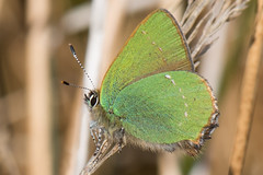HolderGreen Hairstreak- Callophrys rubi