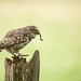 Little Owl with a treat