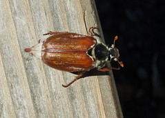 Common Cockchafer - Melolontha melolontha