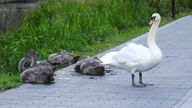 The Swan Family 06