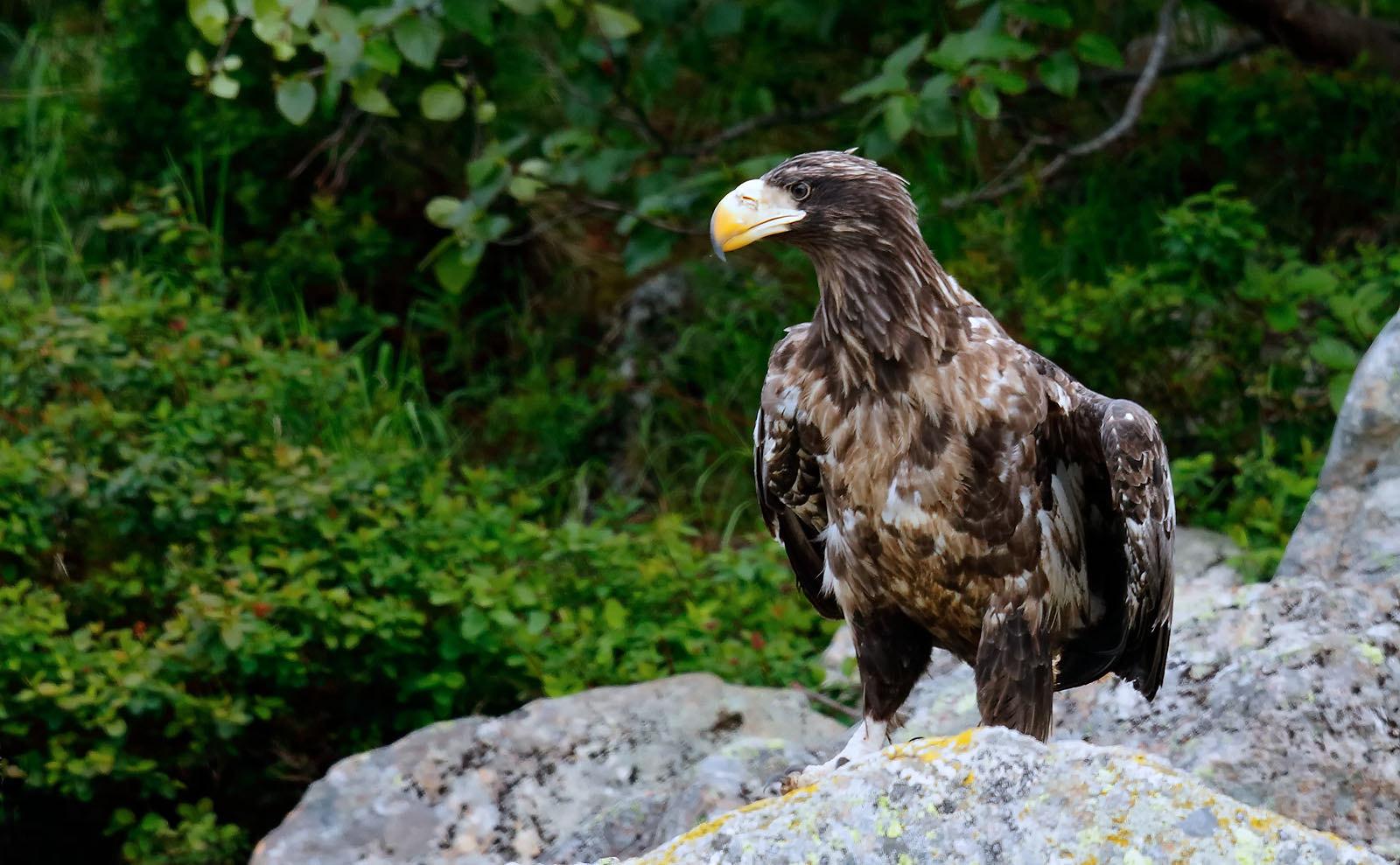 Steller's Eagle - immature
