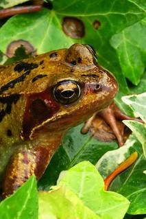 DSC06236 - Common Frog