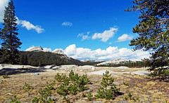 Regeneration, Tuolumne Meadows, Yosemite 2017