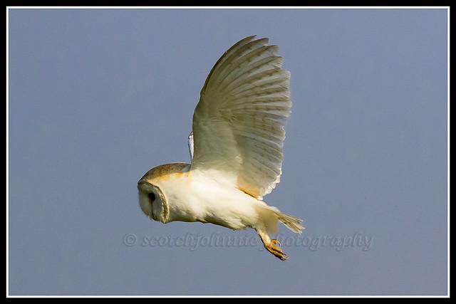 IMG_0134 Barn Owl