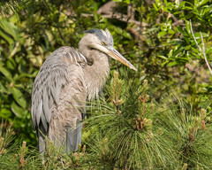 Great Blue Heron with a hangover
