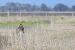 Brown Falcon ( How well they hide ! )