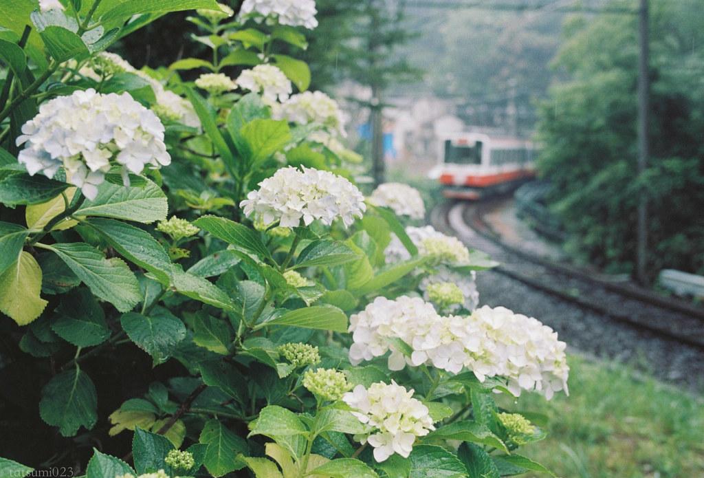 2018-07-31 紫陽花と箱根登山鉄道 001