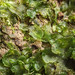 Endive Pellia - Pellia endiviifolia