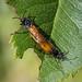 Large Rose Sawfly - Arge pagana