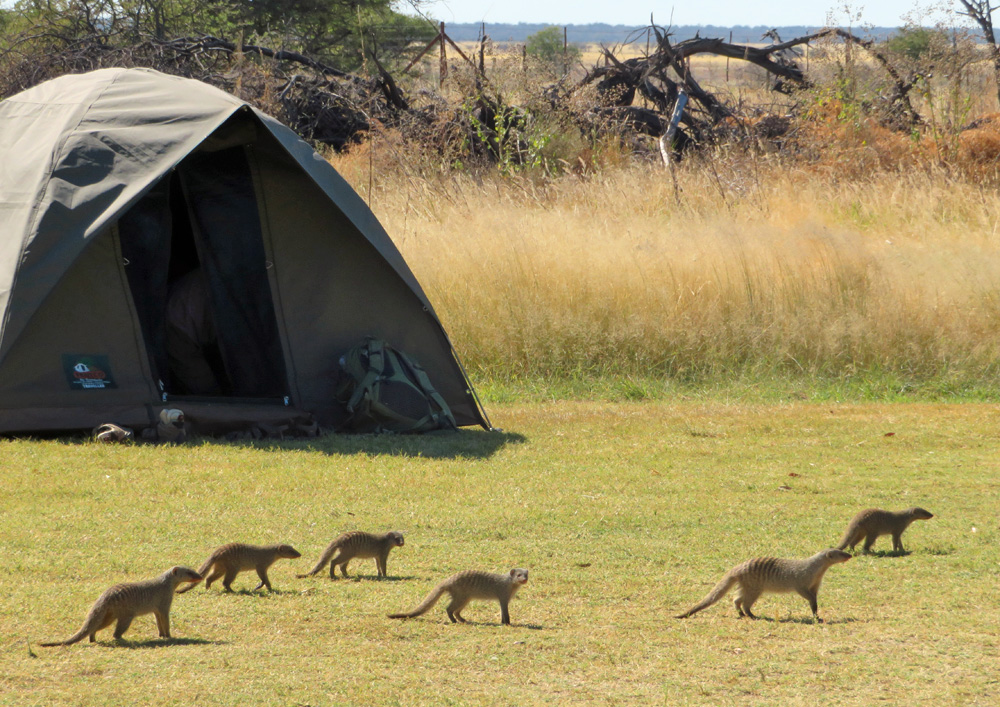 banded-mongoose-campground