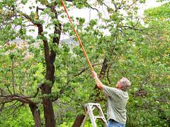 Harvesting Apricots
