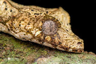 Satanic leaf-tailed gecko (Uroplatus phantasticus) - DSC_7641