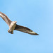 Great Skua in flight