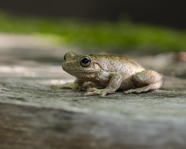 Peron's Tree Frog, Nikon D7000, AF-S VR Nikkor 500mm f/4G ED