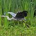 Grey Heron, Larbert Loch, Scotland.