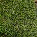 Grey-cushioned Grimmia - Grimmia pulvinata