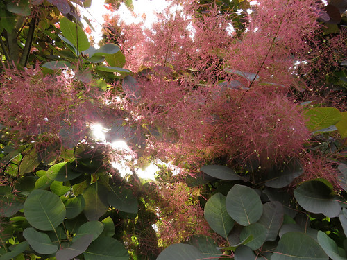 The Purple Smoke Tree when the blooms explode in puffs of smoke