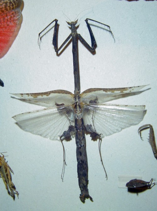 Heterochaeta orientalis 28780438267_80b6562048_o