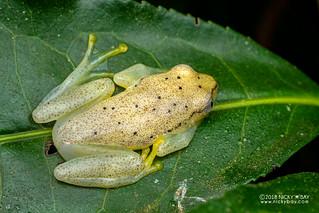Spotted Madagascar Reed Frog (Heterixalus punctatus) - DSC_6686