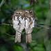 Short-tailed Frogmouth, Mt Kerinci, Sumatra ID, 20180709-117.jpg by maholyoak