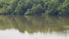 Egret and distant blue heron