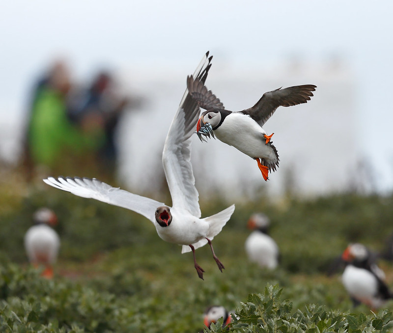 Atlantic Puffin - danger at the nest