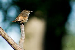 house wren song bird 7313