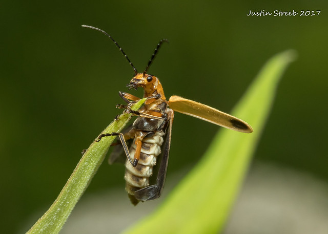 Soldier Beetle 6