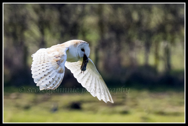 IMG_0161 Barn Owl With Its Prey