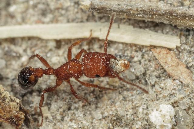Myrmicinae gen. sp. 2018.03.07_01