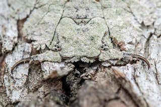 Owlfly larva (Ascalaphidae) - DSC_6568
