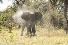 Upset elephant in camp...
