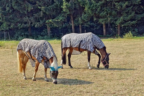 Zebras???