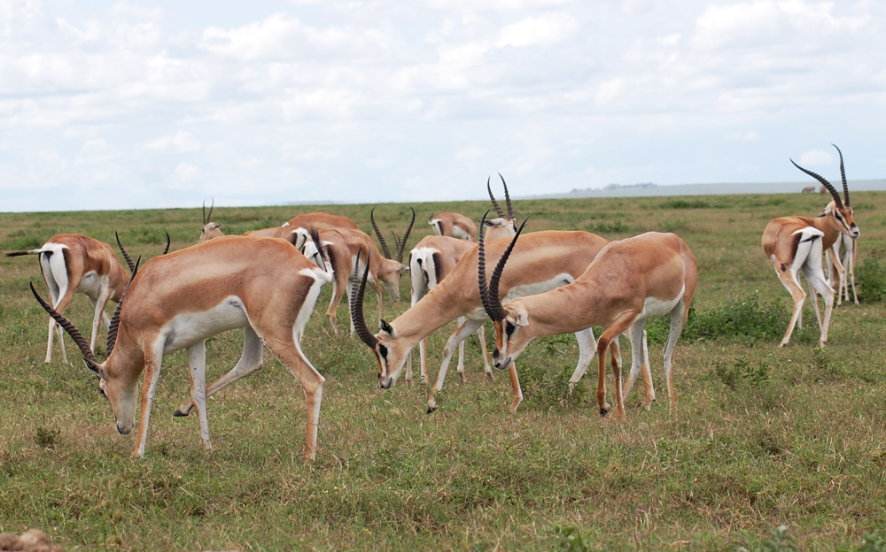 impalas-male-group