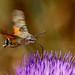 Hummingbird hawk-moth - Kolibrievinder