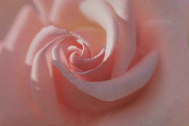 un rêve rose