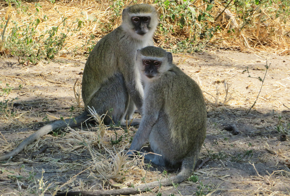 monkeys-chobe
